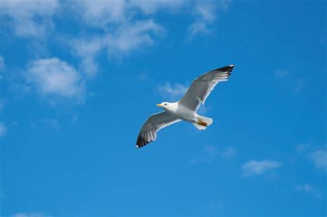 Il Gabbiano Uccello by Gabbiano Con Lo Sfondo Cielo Scaricare Foto Gratis