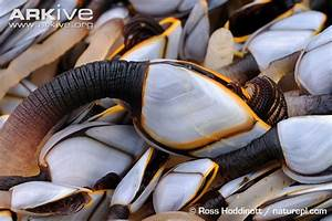 Goose barnacle photo - Lepas anatifera - A20624 | Arkive