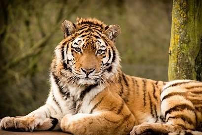 Animals Wild Wallpapers Desktop Tiger Animal Wallpapersafari