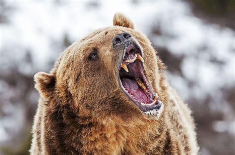 grisly outlook bears kill    livestock