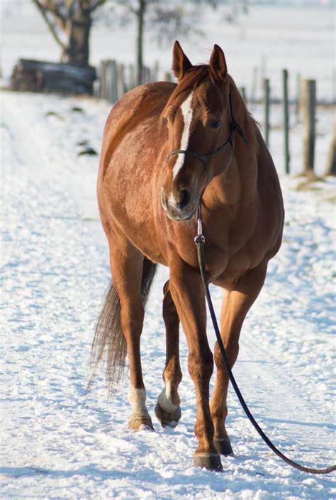 quarter horse stute guenstig  koenigsmoos pferde