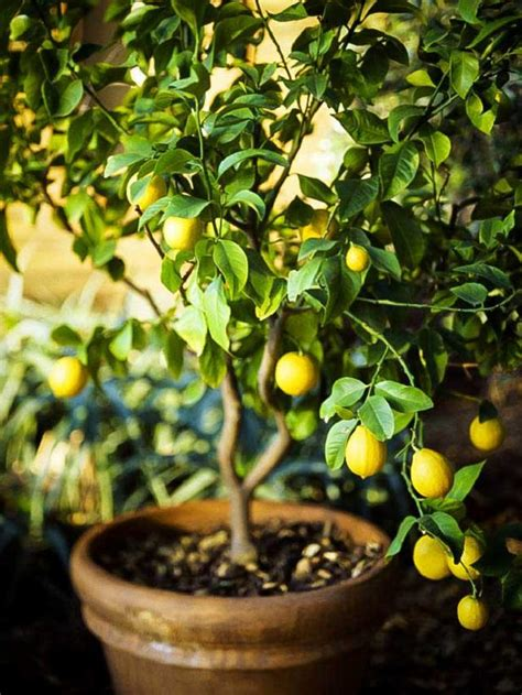 fruit in pot best fruits to grow in pots fruits for containers balcony garden web