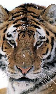 White Siberian Tiger Wallpaper - WallpaperSafari