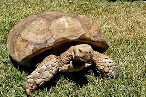 Fotos gratis : naturaleza, fauna silvestre, Zoo, reptil, cáscara, Animales, tortuga, vertebrado