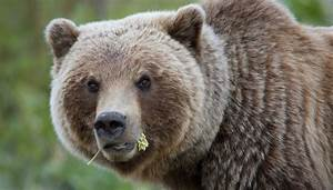 U0026 39 I Could Hear Bones Crunching U0026 39   Hungry Grizzly Bear Mauls