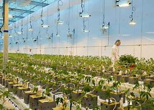 WeedMD Commences Cannabis Cultivation at its Newly-Licensed Large-Scale Modern Greenhouse ...