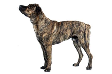 azores cattle dog bigcbit com agen resmi vimax hammer