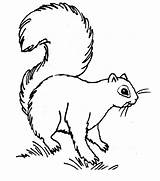 Squirrel Coloring Realistic Template Animal Place sketch template