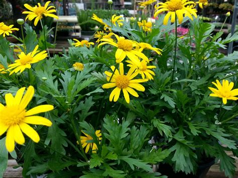 plant with like flowers yellow daisy of the euryops tjs garden