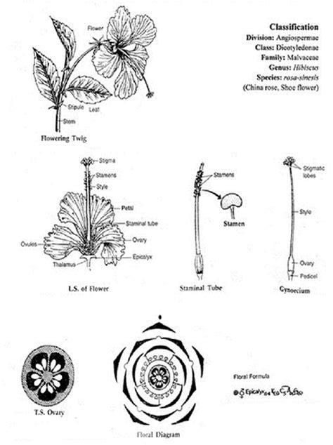 parts   hibiscus flower   functions