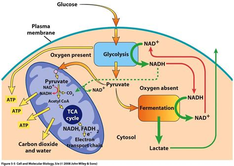 biochemistry how does the body switch between aerobic