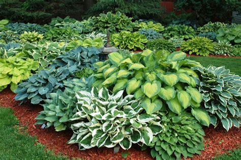 shade plants canada hosta gardens budd gardens hostas perennials ottawa canada gardening pinterest