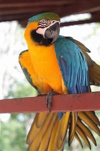 Oiseau Jaune Et Bleu : ara jaune et bleu d 39 oiseau photo stock image du vivre 30495258 ~ Melissatoandfro.com Idées de Décoration