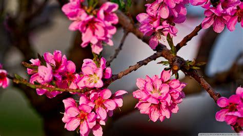 flower tree purple flowers tree wallpaper 832303