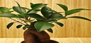 Olivenbaum Im Wohnzimmer überwintern : ficus ginseng bonsai oder keiner ~ Markanthonyermac.com Haus und Dekorationen