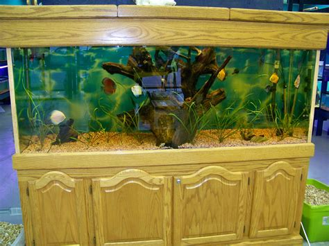 150 liters to gallons discus fish 20 gallon tank cichlids 150 gallon discus tank at lfs 2017 fish tank