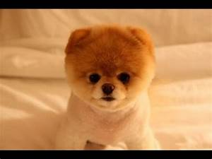 What Is The Name Of The Dog That Looks Like A Teddy Bear