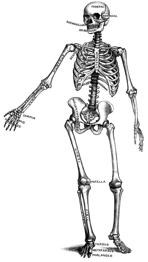 Kleurplaat Logo Hit by Clipart Of Human Skeleton 20 Free Cliparts