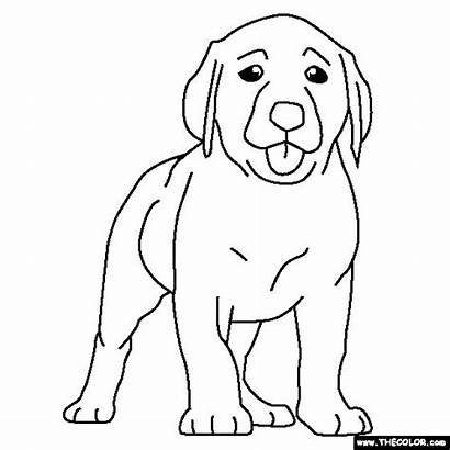 Puppy Labrador Coloring Lab Dog Pages Chocolate