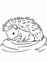Hedgehog Coloring Pages Animals Printable sketch template