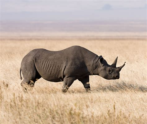 White Rhino National Geographic