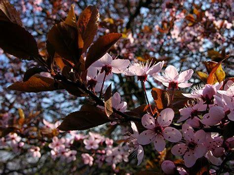 alberi con fiori rosa alberi fioriti di rosa alberi fotografie fiori foto