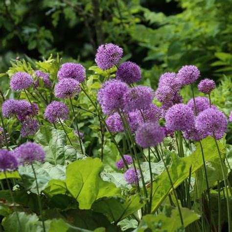 what to plant with allium allium planting guide easy to grow bulbs