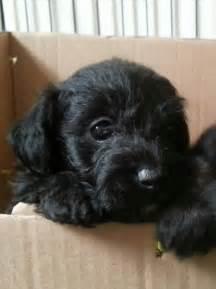 Gorgeous Jackapoo puppies READY NOW Swansea, Swansea