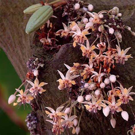 cocoa theobroma cacao trinitario