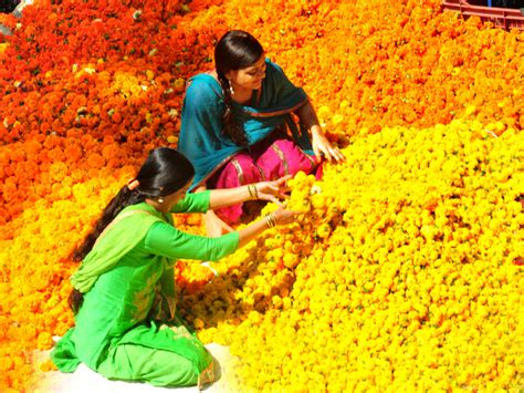 india yellow pages indian business marigold the flower that has become a part of