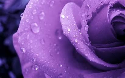 Rose Purple Flowers Water Drops Flower Macro