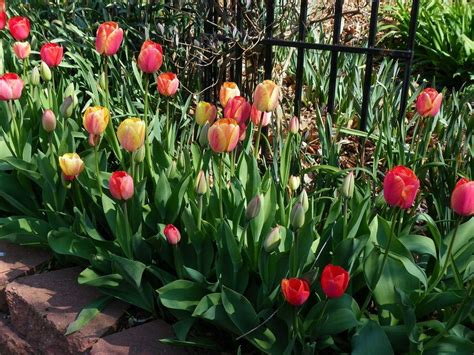 your bulb flowers with tulips and daffodils