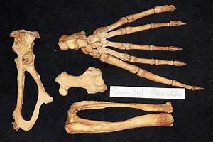 Common Seal Skeleton