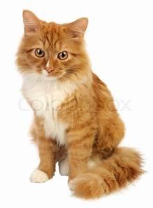 Weißer Wurm Katze : junge ingwer katze auf einem wei en hintergrund stockfoto colourbox ~ Markanthonyermac.com Haus und Dekorationen