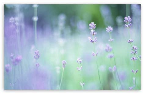 soft focus small purple flowers  hd desktop wallpaper   ultra hd tv tablet smartphone mobile devices