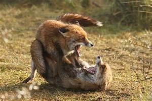 19. Fox Trotting and Fox Fighting – Roeselien Raimond ...