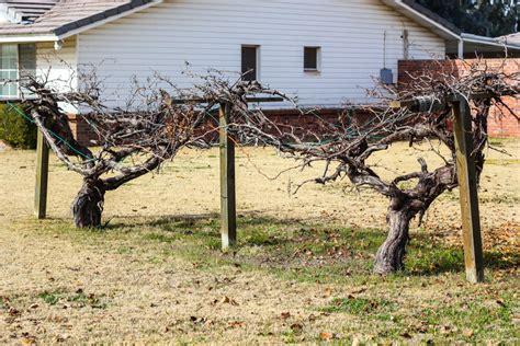 a grape arbor building a simple grape arbor weed em reap