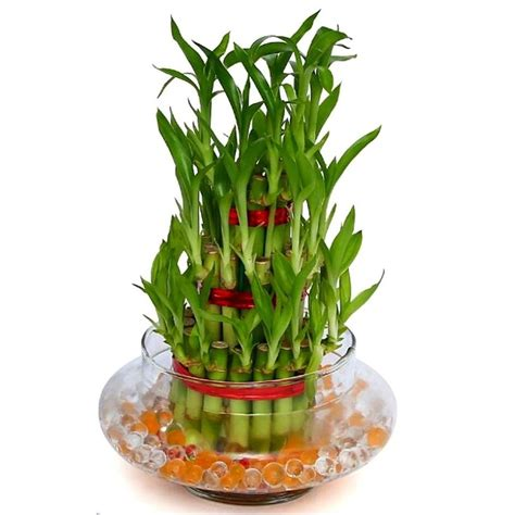 layers feng shui good luck bamboo plant  glass vase