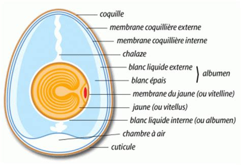 comment se forme la coquille d un œuf de poule quoi