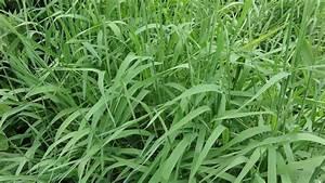 "Phalaris ""Yugo Red"" Plants | World Seed Supply"