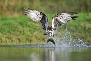 Available places in Osprey workshops August – September ...