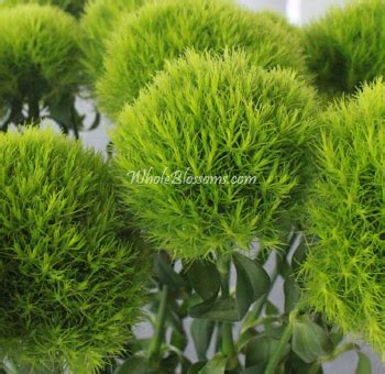 green trick dianthus flower ball buy wholesale dianthus
