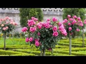 Begleitpflanzen Für Rosen : rosen pflanzen f r ihren garten youtube ~ Orissabook.com Haus und Dekorationen