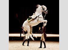 White ballet The Spanish Riding School's Lipizzaner