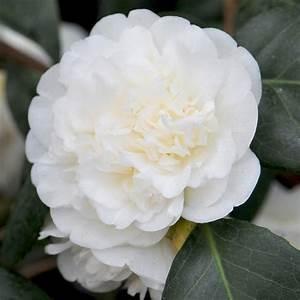 Camellia Japonica Winterhart : buy camellia camellia japonica nobilissima delivery by crocus ~ Eleganceandgraceweddings.com Haus und Dekorationen