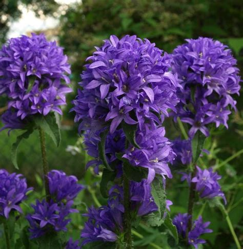 17 best ideas about purple perennials on deer
