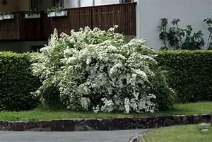 Schnell Wachsender Busch : spierstrauch fontana ~ Lizthompson.info Haus und Dekorationen