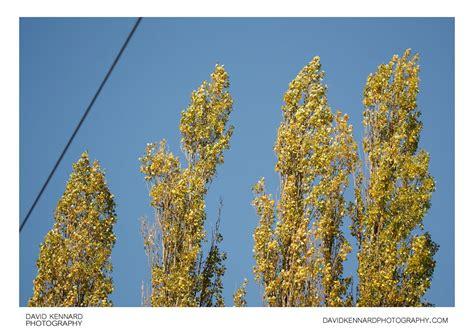 Lombardy Poplars in Autumn (I) · David Kennard Photography