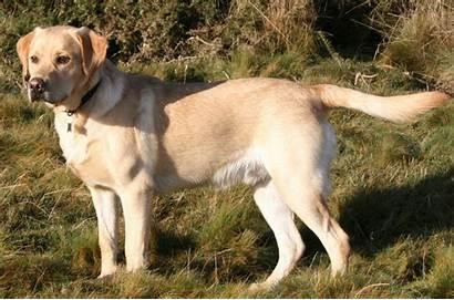 Labrador Retriever Breed Dog History Lab Yellow