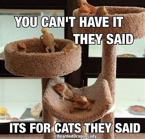 Bearded Dragon Memes - 167 best images about reptiles on pinterest funny comic
